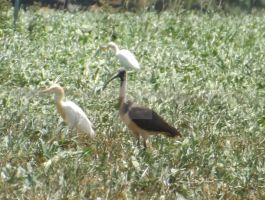 Straw-Necked Ibis and Cattle Herons by tablelander