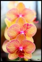 Orchid Trio by sequential