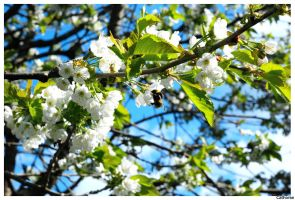 Bumblebee in a Cherrytree by Cathorse