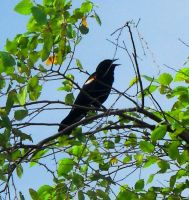 Red Winged Black Bird by emi3chan