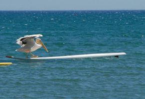 pelican surfing by poseidonsimons-s