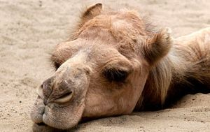 Camel by tomestcool