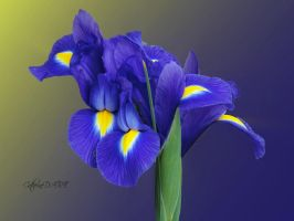 IRIS NAIN 3 by BELLESYMPHORINE