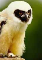 Baby Spectacled Owl by Yslen