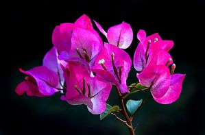Bougainvillea III by xjames7