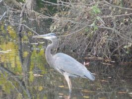 Great Blue Heron by morningstarskid