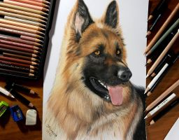 Colored Pencil Drawing of German Shepherd Dog by JasminaSusak