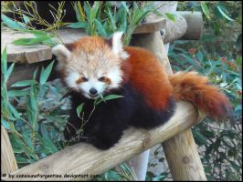 Red panda IX by Cansounofargentina