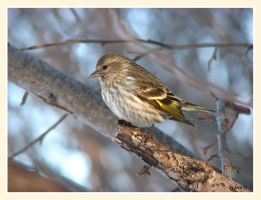 Pine Siskin by dove-51