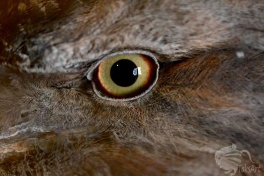 Tawny Frogmouth by TaksArtPhotos