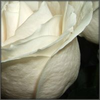White roses by mirator