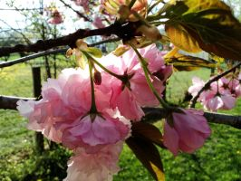 Kwan Zan Japanese cherry tree stock by DoloresMinette