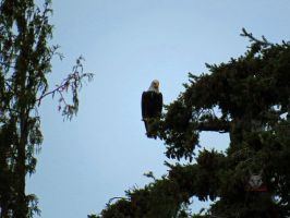 Bald Eagle Watching Everything by wolfwings1