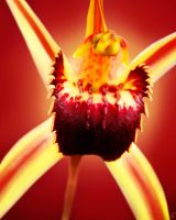 SPIDER ORCHID by simoneyvette