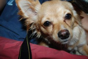 Chihuahua by strueberry
