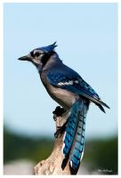 Bluejay 0085 by PeterDeBurger
