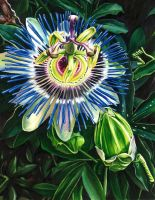 Passion Flower by KellyEddington