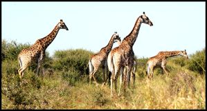Herd of Giraffes by mikewilson83