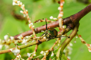 Japanese beetle (Popillia japonica) by Busted11290