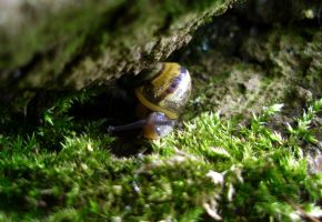 Cepaea hortensis by Shady081988