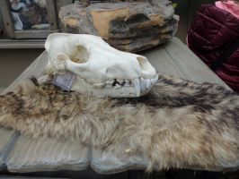 Free Wolf Skull And Fur Stock 1 by Fiveleafwolf
