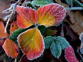 first white frost on strawberry leaves by April-Mo