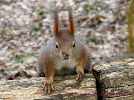 Squirrel 37 by Cundrie-la-Surziere