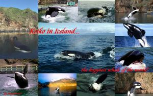 Keiko, the Orca in Iceland by Snapelove14