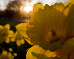 Daffodil Sunset by EternallyEnvious
