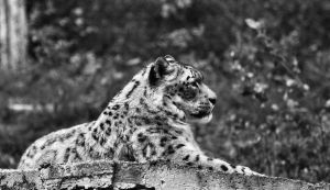 Snow Leopard by KattFloka