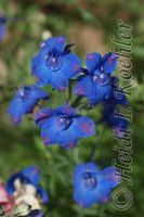 China Blue Larkspur 2013-06-21-s2-015 by 12monthsOFwinter