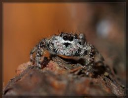Tan Jumping Spider 40D0031566 by Cristian-M