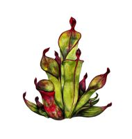 Pitcher Plant by Stepherz-Firefox