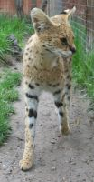 Tautphaus Zoo 67 Serval by Falln-Stock