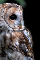 Tawny Owl Profile by Shadow-and-Flame-86