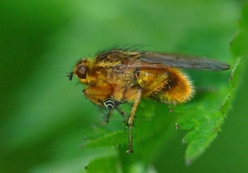 Yellow Dung Fly by oliverporter3