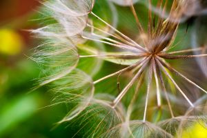 Dandelion in Closeup by mairlin
