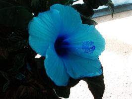 hibiscus by luckyshamrocks