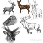 Deer Study by Masked-lion