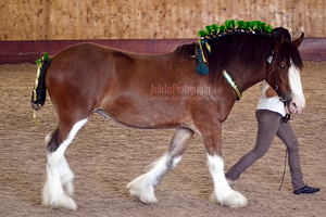 Clydesdale Halter 5 by JullelinPhotography