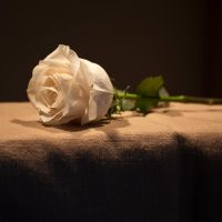Single White Rose by muffet1