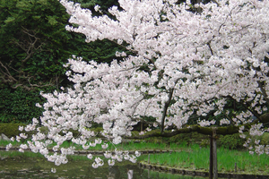 Cherry Blossoms over Pond by unseeliefae