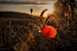 Last poppy by tomsumartin