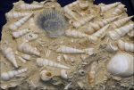 Seashell Fossils by Undistilled