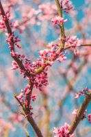 Beautiful Blossoms by AfterDeath