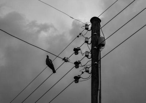 Pigeon on Phone Lines by martineriksen
