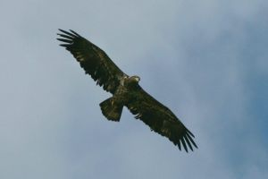 Young Eagle Flight by Kippenwolf