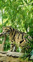 Clouded Leopard by soyrwoo