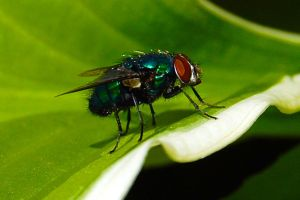 Fly on leaf by umboody