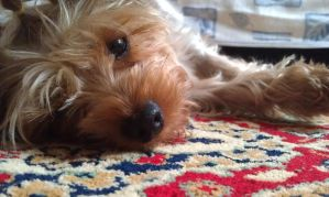 My yorkshire terrier: Molly by varjules